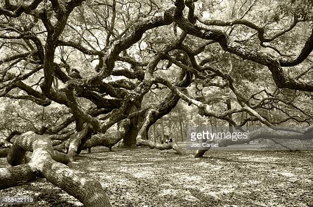 Ancient angel live oak in Charleston