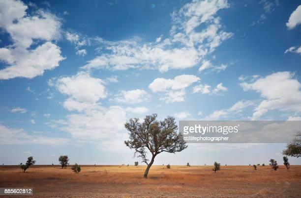 Expansive view of barren savanna with Acacia tree in Serengeti National Park, Tanzania