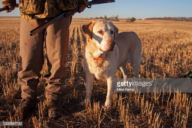 Experienced hunter John Davidson duck hunting with his faithful labrador retriever Chester near Minot North Dakota United States John has been...