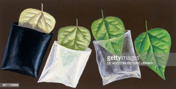 Experiment demonstrating chlorophyll production in a leaf subjected to different light intensities drawing
