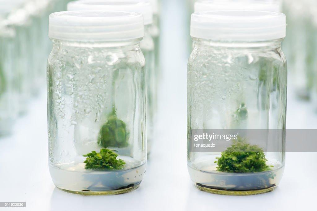 Experiment Plant Tissue Culture In Laboratory Stock Photo