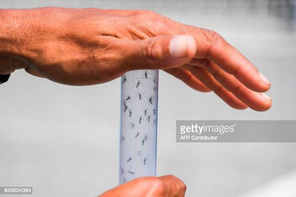 Experts form the Brazilian Fiocruz Institute release Aedes aegypti mosquitoes infected with a bacteria that prevents them from spreading dengue Zika...