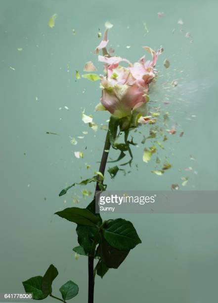 exploding flowers - 薄ピンク ストックフォトと画像