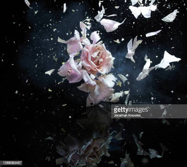 exploding pink rose - bombing stock pictures, royalty-free photos & images