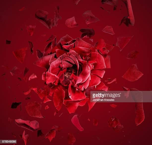 exploding red rose, fragments flying around - 破壊 ストックフォトと画像