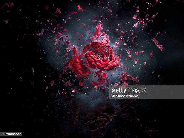 exploding red rose - damaged stock pictures, royalty-free photos & images