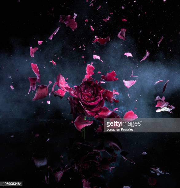 exploding red rose - exploding stock pictures, royalty-free photos & images