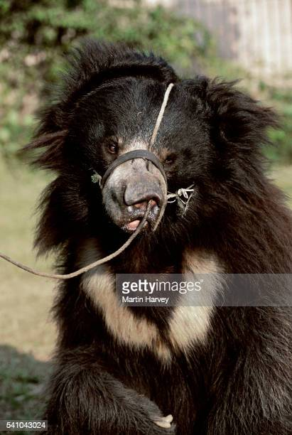 exploited dancing bear - animal welfare stock pictures, royalty-free photos & images
