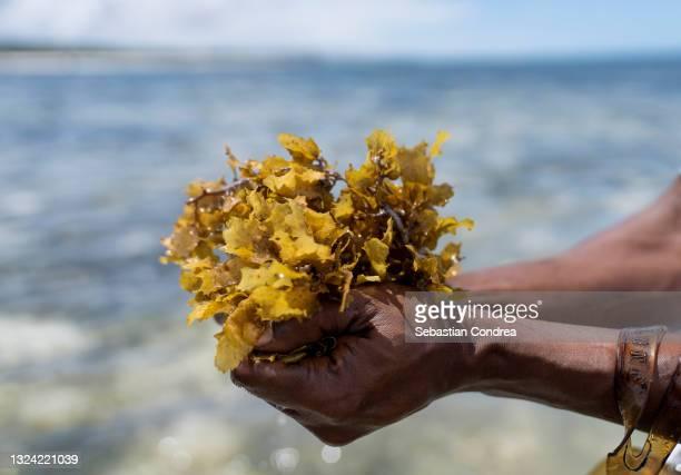 exploration and algae seaweed at coast, presentation of seaweed.diani beach in ukunda, kenya, africa. - kenya stock pictures, royalty-free photos & images