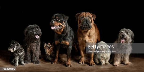 exposicion canina - bull mastiff stock pictures, royalty-free photos & images