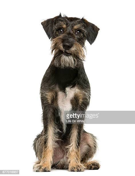 expressive crossbreed dog sitting - mongrel dog stock pictures, royalty-free photos & images