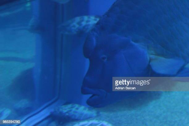 expressive fish - メガネモチノウオ ストックフォトと画像