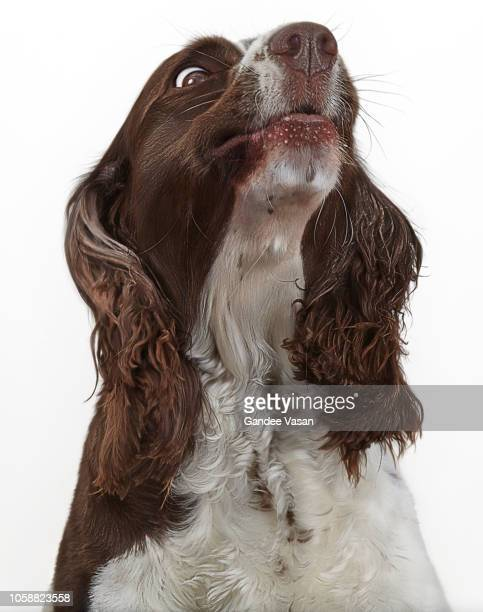 Expressive looking Springer Spaniel