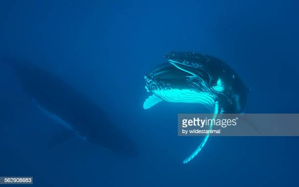 extended baleen - young animal stock pictures, royalty-free photos & images