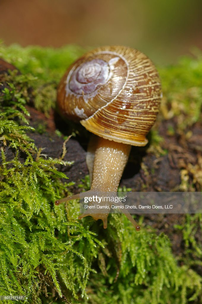 Extended land snail : Stock Photo