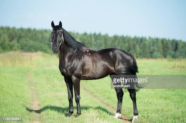 exterior of beautiful black trakehner stallion  posing in  field - thoroughbred horse - fotografias e filmes do acervo