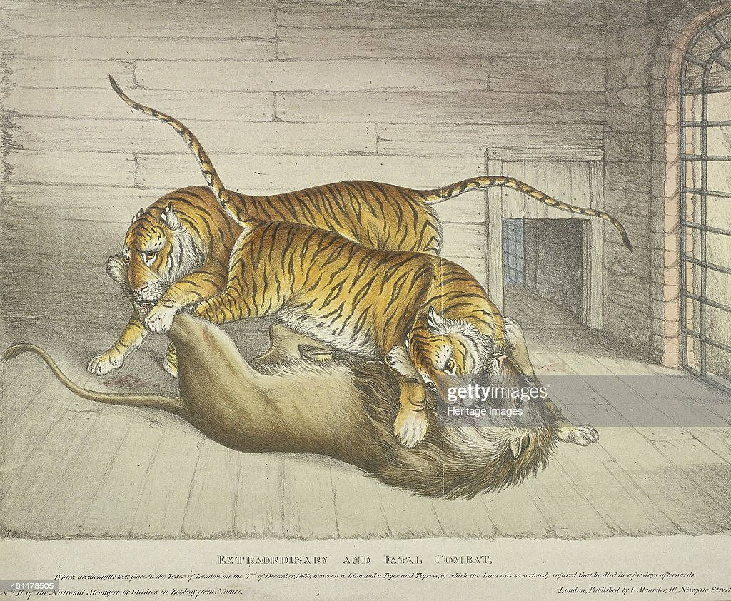 'Extraordinary and Fatal Combat...between a lion and a tiger and tigress...,Tower of London, 1830. Artist: Anon : News Photo