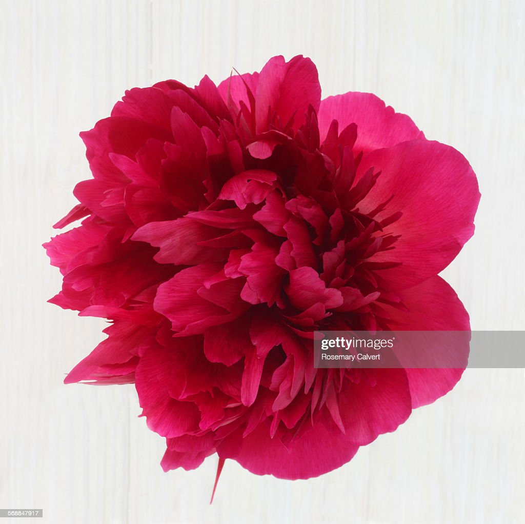 Extravagent looking pink peony on white : Stock Photo