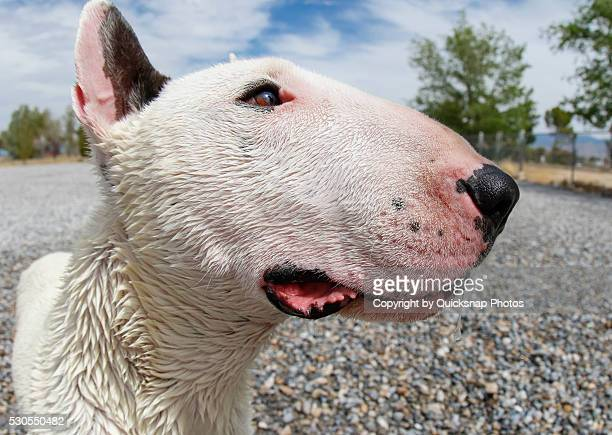 extreme close up of a bull terrier head - bull terrier stock pictures, royalty-free photos & images