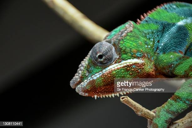 extreme close up of a colorful panther chameleon in the wild in madagascar, africa - mystery stock pictures, royalty-free photos & images