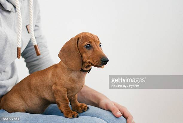Extreme Close Up Of A Dachshund Sitting On A Lap