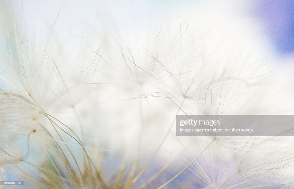Extreme close up of a dandelion : Stock Photo