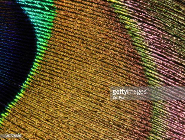extreme close up of a peacock tail feather showing details and markings in vibrant colors#01 - brown stock pictures, royalty-free photos & images
