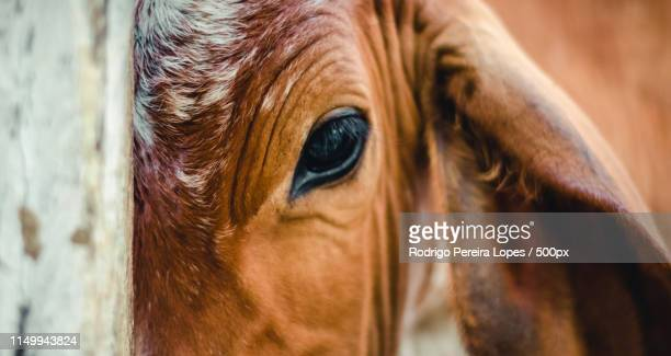 extreme close up of cow - cow eyes stock pictures, royalty-free photos & images