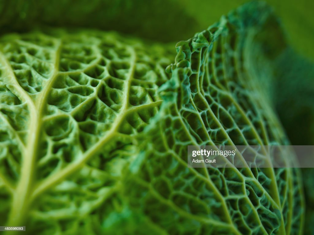 Extreme Nahaufnahme von Savoy cabbage : Stock-Foto