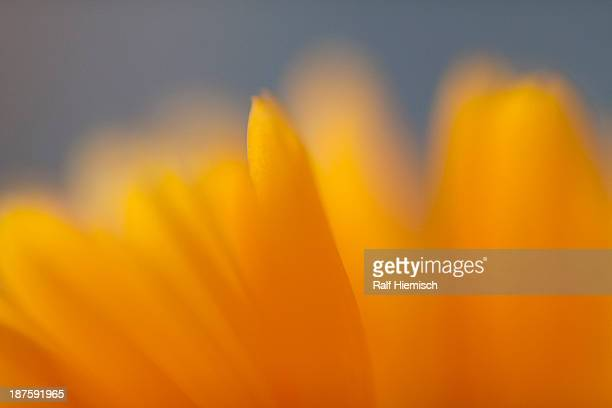 Extreme close up of the petals of a yellow daisy
