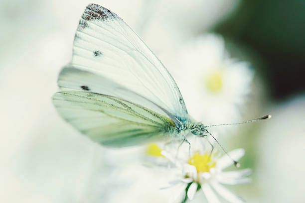 Extreme Close Up Of White Butterfly & Aster Flower Wall Art