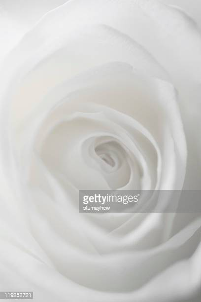 Extreme close up of white rose