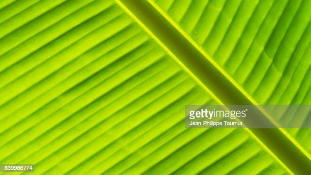 Extreme Close-up Banana leaf after the rain near Luang Prabang, in Northern Laos, Southeast Asia