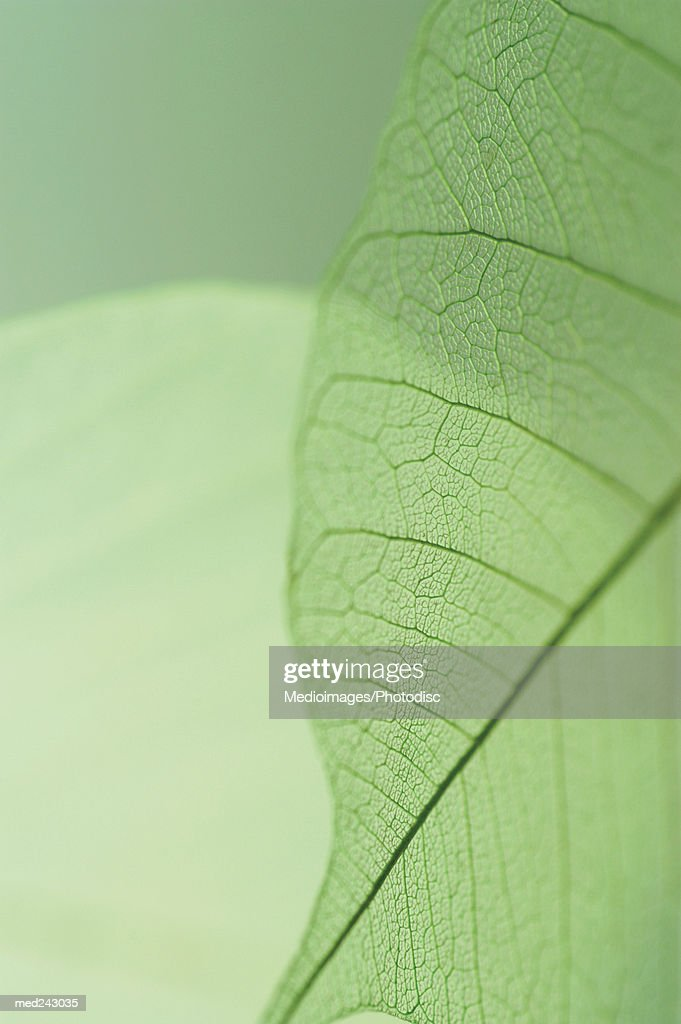 Extreme close-up detail of Caladium leaf vein : Stock Photo