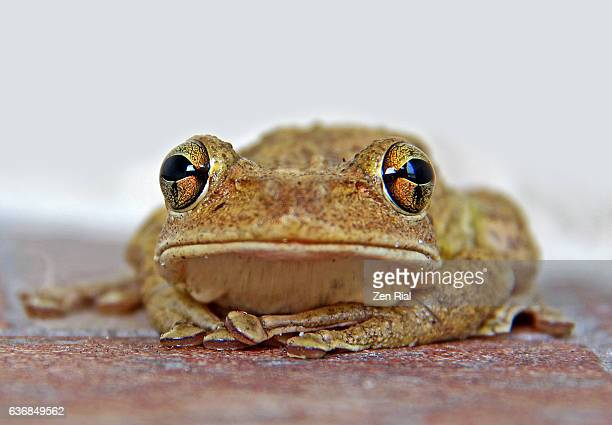 Extreme close-up front view of a single amphibian possibly a Cuban Tree Frog