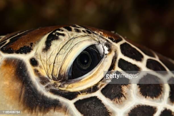 close-up extremo, olho esquerdo da tartaruga verde chelonia mydas, palau, micronésia - left eye - fotografias e filmes do acervo