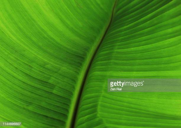 extreme close-up of a banana leaf showing leaf veins - grooved stock pictures, royalty-free photos & images