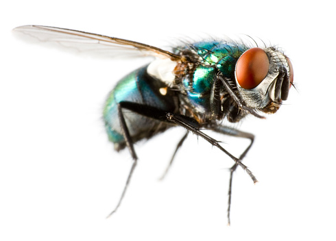 Extreme close-up of a flying house fly 178147231
