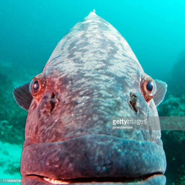extreme close-up of a potato grouper fish underwater, mozambique - grouper stock pictures, royalty-free photos & images