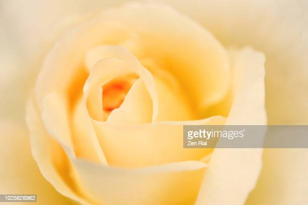 extreme close-up of a  single yellow rose viewed directly from above - zen rial stock photos and pictures