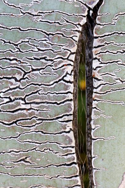 Extreme close-up of Agave americana plant, Cabo de Gata, Almeria, Spain