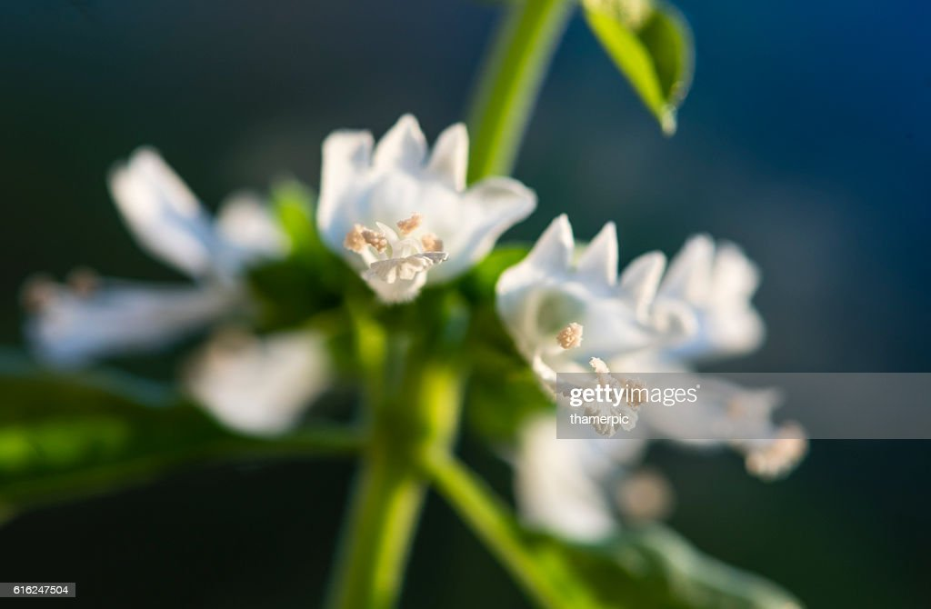 Extreme close-up of Basil herb plant and blossom : Stock Photo