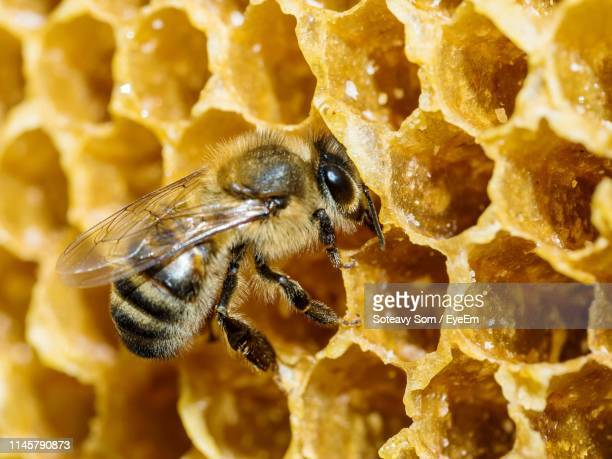 extreme close-up of bee on honeycomb - impollinazione foto e immagini stock