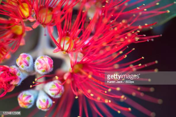 extreme close-up of bottlebrush (callistemon) flower in bloom, glenmore park, australia - images stock pictures, royalty-free photos & images
