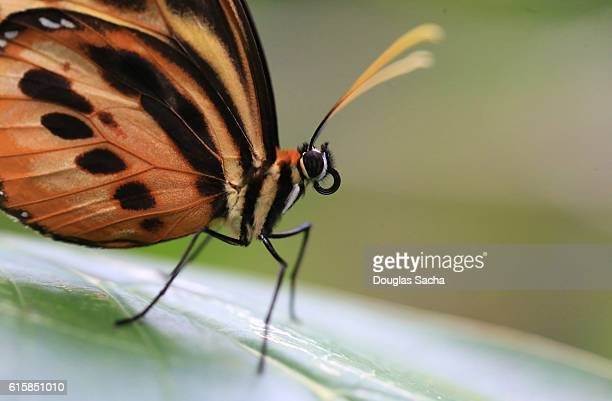 Extreme Close-Up Of Butterfly On a leaf, Golden Helicon (Heliconius hecale)
