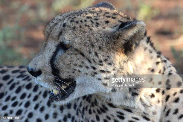 Extreme close-up of Cheetah (Acinonyx jubatus) on field