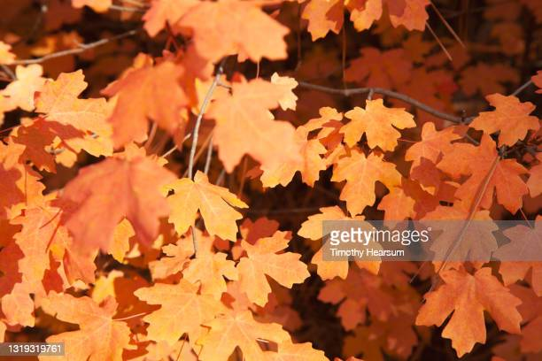 extreme close-up of colorful maple tree leaves in the fall - timothy hearsum stock pictures, royalty-free photos & images