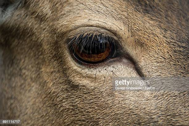 Extreme Close-Up Of Deer Eye