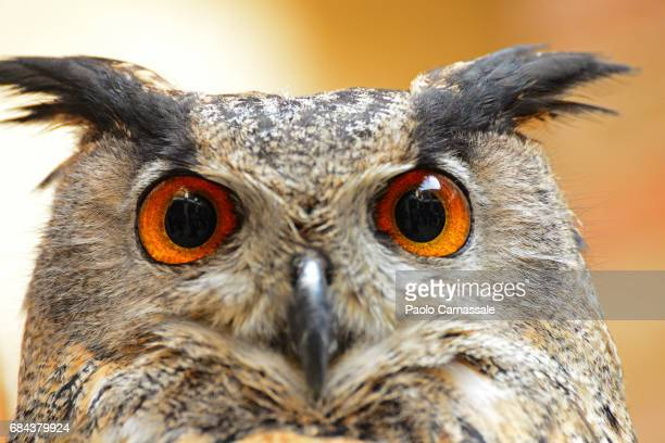 Extreme close-up of Eurasian eagle-owl (Bubo Bubo) head