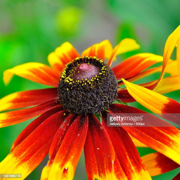 extreme close-up of flower - antonov stock pictures, royalty-free photos & images